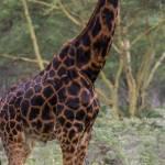 kenya_animals_giraffe_IMG_0414