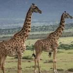 kenya_animals_giraffe_IMG_9346