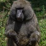 kenya_animals_monkeys_IMG_0134