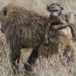 kenya_animals_monkeys_IMG_0271
