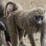 kenya_animals_monkeys_IMG_0273