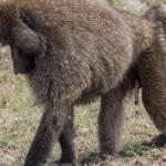 kenya_animals_monkeys_IMG_8753
