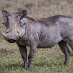 kenya_animals_ruminant_IMG_0263