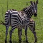 kenya_animals_ruminant_IMG_0510
