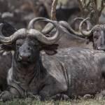 kenya_animals_ruminant_IMG_0520