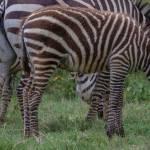 kenya_animals_ruminant_IMG_0539