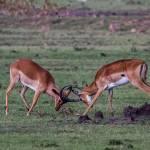 kenya_animals_ruminant_IMG_0580