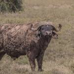 kenya_animals_ruminant_IMG_8978