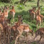 kenya_animals_ruminant_IMG_8981