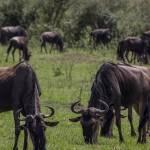 kenya_animals_ruminant_IMG_9440