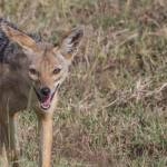 kenya_animals_simbas_IMG_0336