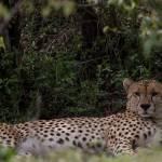 kenya_animals_simbas_IMG_0445