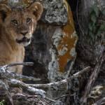 kenya_animals_simbas_IMG_0467