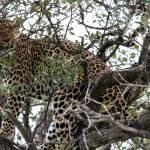 kenya_animals_simbas_IMG_0480