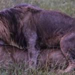 kenya_animals_simbas_IMG_0657