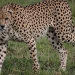 kenya_animals_simbas_IMG_9123