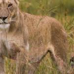 kenya_animals_simbas_IMG_9208
