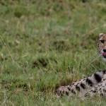 kenya_animals_simbas_IMG_9928