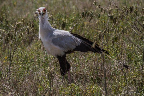 kenya-animals-birds-img-0498DA92A111-FA3C-8A77-A679-D2111EE594B1.jpg