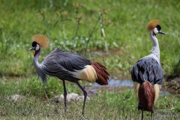 kenya-animals-birds-img-121229B451D0-59DA-8BFF-E844-A78A74885B16.jpg