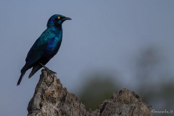 kenya-animals-birds-img-869995A95D80-30FA-EFD0-9161-4D427FF952BC.jpg