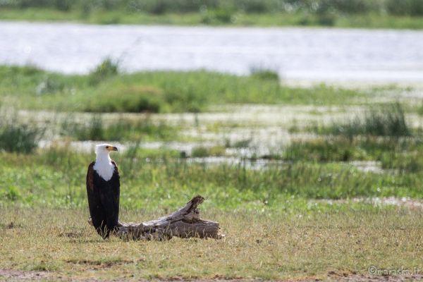 kenya-animals-birds-img-9826E8277168-8529-66C2-55D5-FBD1B23356B7.jpg