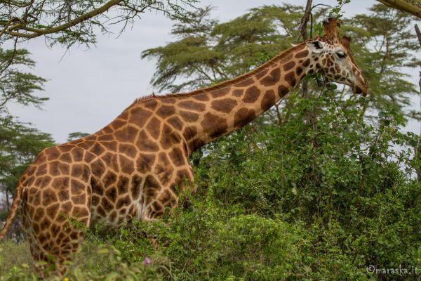 kenya-animals-giraffe-img-0418E759AF70-0000-D839-8D57-E3391A2CD62E.jpg