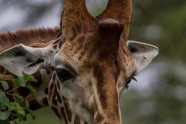 kenya-animals-giraffe-img-041952E81DE7-5F1E-DC22-D06F-A4C9329696AA.jpg