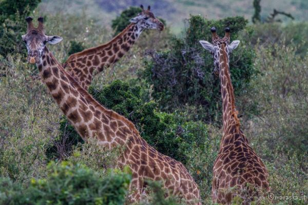 kenya-animals-giraffe-img-0605F0C4FD08-2B41-AD8C-3D51-ABC954DAD0BF.jpg