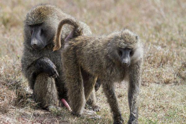 kenya-animals-monkeys-img-0273104912DB-71BD-5AC9-3398-1D21FDE96D3C.jpg