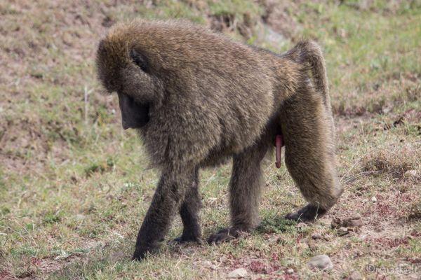 kenya-animals-monkeys-img-875327925B94-8605-9A90-2674-B5F38522E03E.jpg
