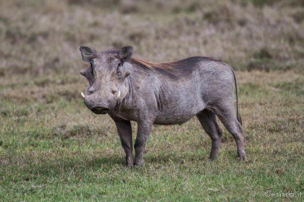 kenya-animals-ruminant-img-02637F47CC40-B032-AC8A-CC39-A05CB16B3C38.jpg