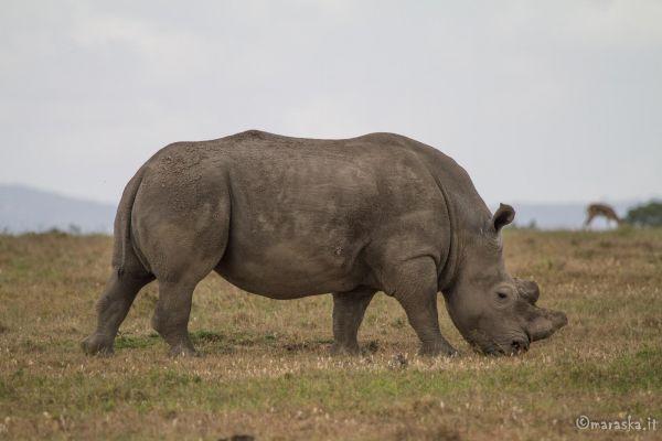 kenya-animals-ruminant-img-030304D83828-AD40-AED5-2146-BA740203F337.jpg