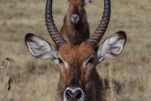 kenya-animals-ruminant-img-0338966B74AB-F988-E78A-3D86-825AD90B3051.jpg