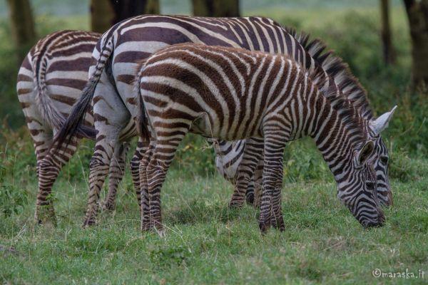 kenya-animals-ruminant-img-0539DFA48596-58A4-B6C4-9791-3A88A9D7C325.jpg