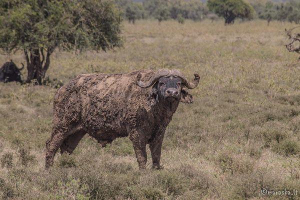 kenya-animals-ruminant-img-8978C397F254-42F4-C0E9-63C0-54750DA72A76.jpg
