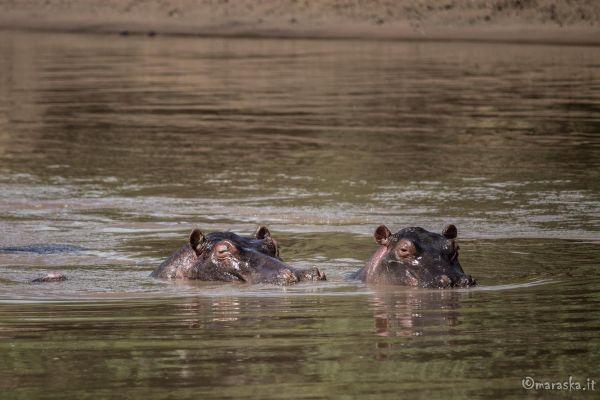 kenya-animals-ruminant-img-9293B3A244C7-EF42-D1D7-21FD-41C47E00C585.jpg
