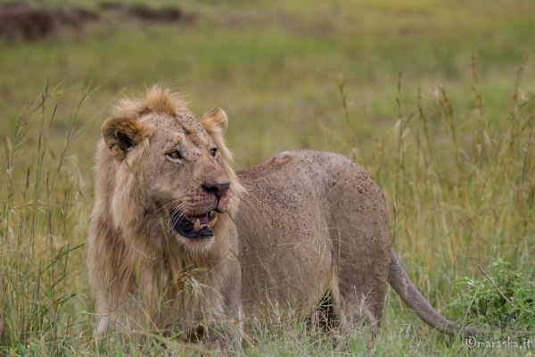 kenya-animals-simbas-img-0090E287207C-29E2-FDF7-5B5A-17364F0D1DEF.jpg