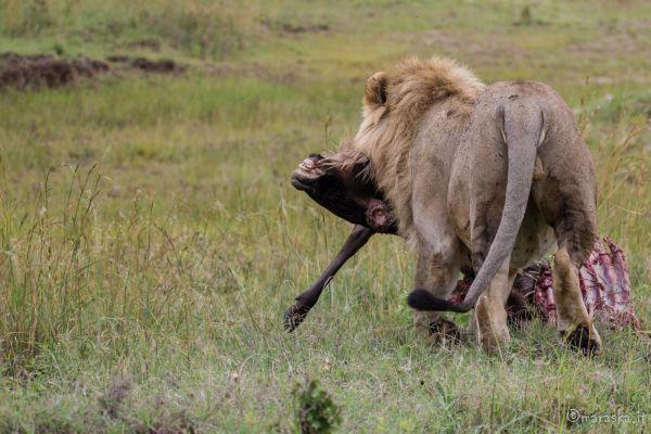 kenya-animals-simbas-img-0099E4ABCAE1-1069-25CC-56C7-0E2CDD19EAE5.jpg