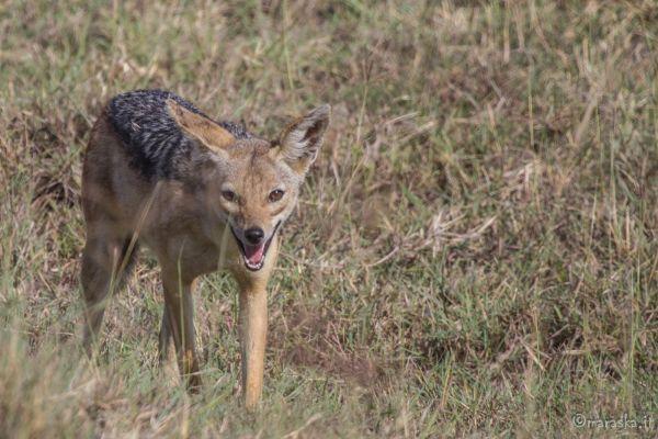 kenya-animals-simbas-img-0336BEA81FFB-605D-5BF5-B146-3E6AFBE0E21A.jpg