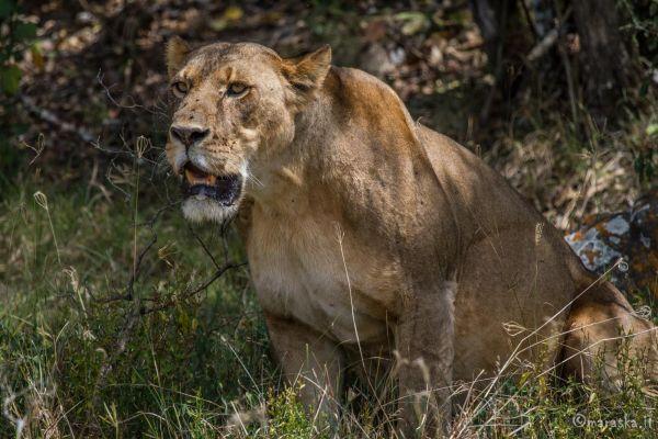 kenya-animals-simbas-img-04355448263D-EC43-0559-E07D-AB61728FC4B9.jpg