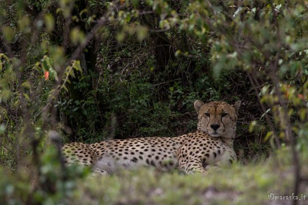 kenya-animals-simbas-img-04450C2231C3-A9DF-EAF3-30AC-5B60A373BFC7.jpg