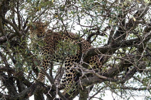 kenya-animals-simbas-img-04802F6B86D0-3CF1-5928-B6B4-3AEF77C3CF15.jpg