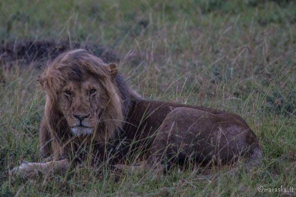 kenya-animals-simbas-img-062070ACAC08-DC8F-7080-1C88-C108B323C6B8.jpg
