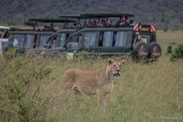 kenya-animals-simbas-img-91724127967A-98E1-F090-EF6F-490F6F825A69.jpg