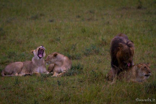 kenya-animals-simbas-img-983344DB4FB1-7E07-91DA-8B0C-BEFA38CA5053.jpg