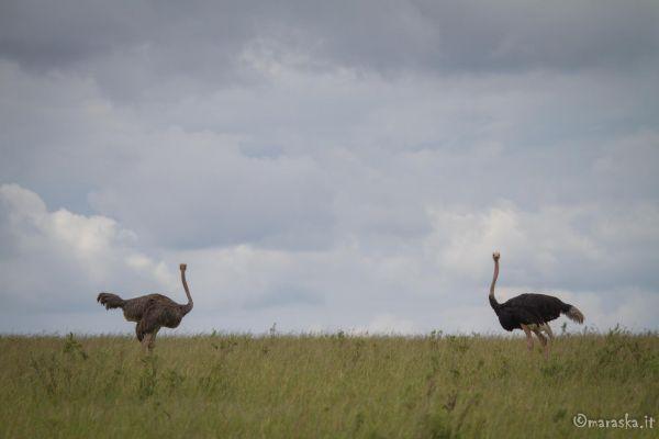 kenya-animals-birds-img-0022DA69CF82-729E-1AD4-2569-3758E48B0A19.jpg