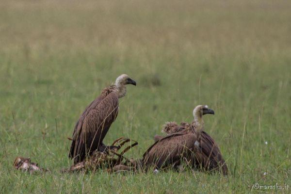 kenya-animals-birds-img-041241AC28D4-F2E2-0F86-D7AA-F3079EC70B9E.jpg