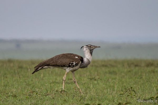 kenya-animals-birds-img-0421141D1CA2-F483-E8D4-FF36-5CA4F6137B26.jpg