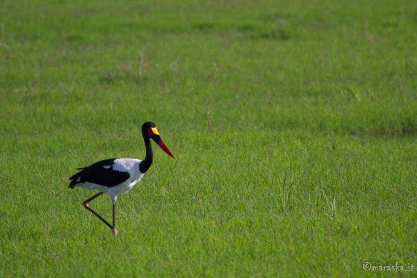 kenya-animals-birds-img-107605EA2582-7D93-EB61-53E2-E99395793EEC.jpg